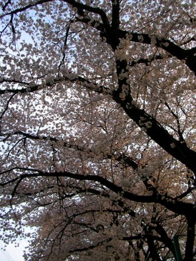 10桜12