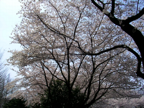 '10桜4