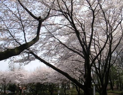 '10桜6
