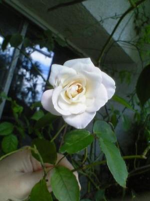 秋のバラ4