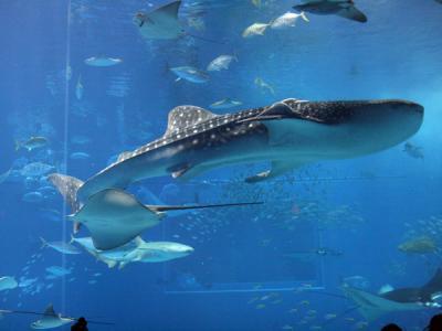 ジンベイザメ!! 20100521美ら海水族館