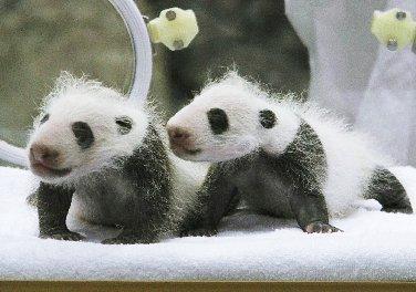 パンダの赤ちゃん@和歌山