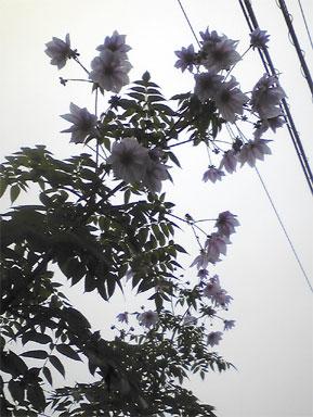 木立ダリア曇り