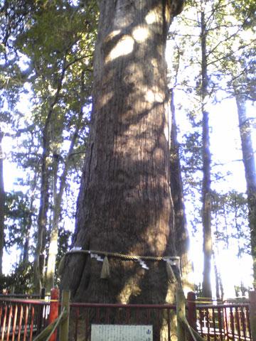 麻賀多神社の大杉1
