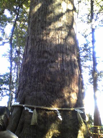 麻賀多神社の大杉2