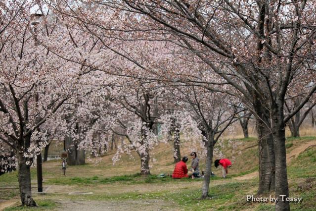 桜堤の枝垂桜