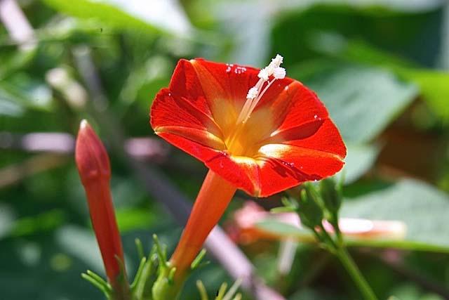 丸葉縷紅草