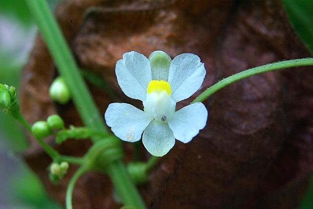 風船葛(ふうせんかずら)の花