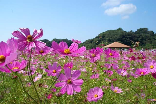 西郷川花園 秋桜(コスモス)