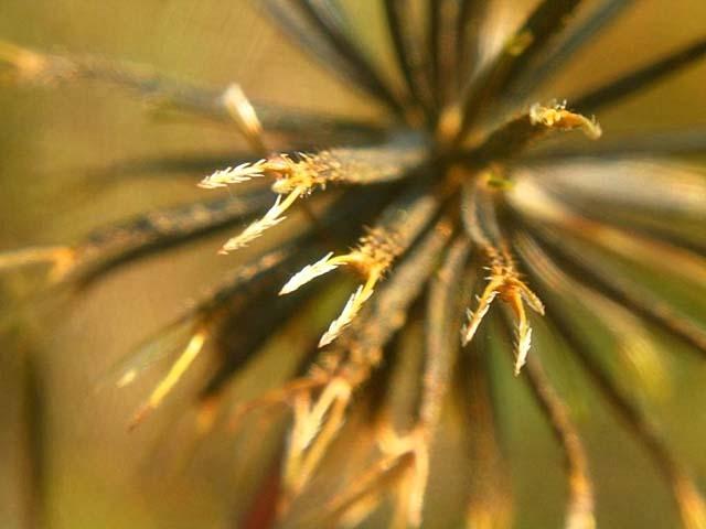 小栴檀草(こせんだんぐさ)の種