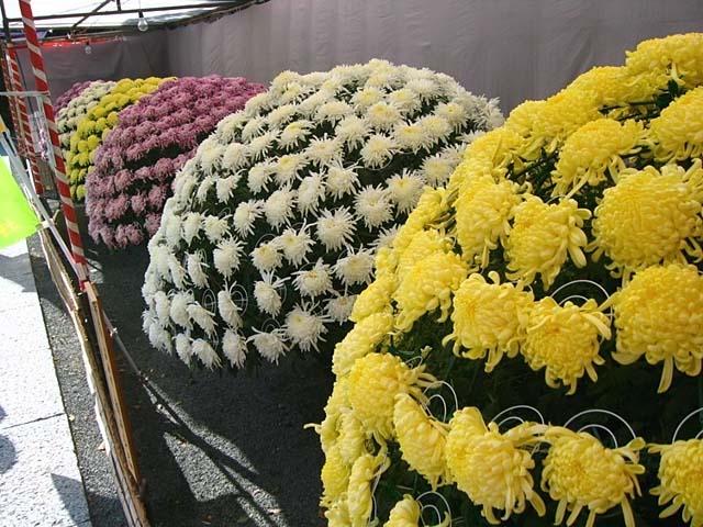 第39回 西日本菊花大会