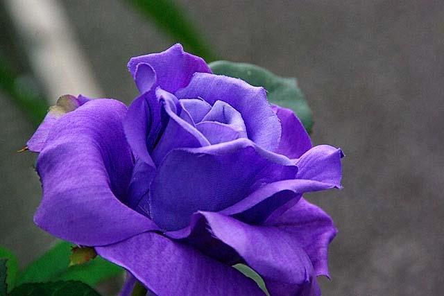 薔薇(ばら)(37654 byte)