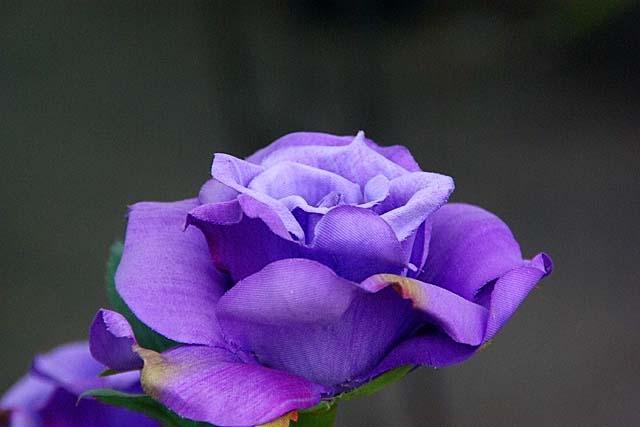 薔薇(ばら)100127k-080p.jpg(31584 byte)