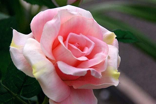 薔薇(ばら)(35256 byte)