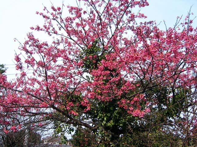 寒緋桜(125565 byte)