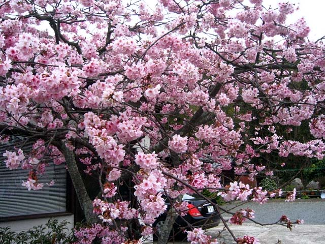 緋寒桜(108968 byte)