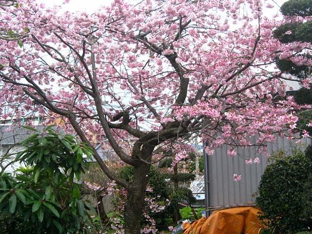 寒緋桜(108834 byte)