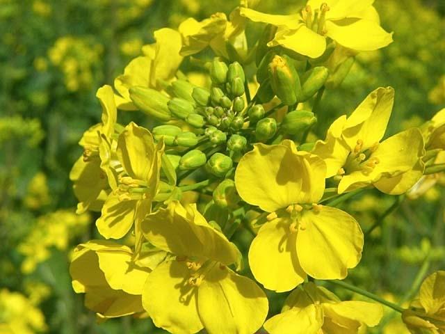 菜の花(53973 byte)