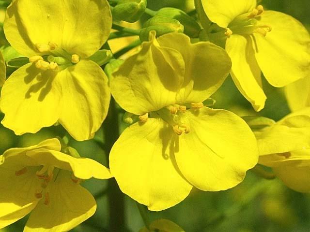 菜の花(44265 byte)
