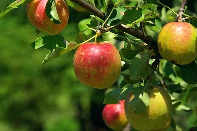 リンゴ090825k-061p.jpg(46170 byte)