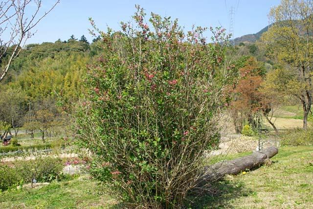 紅花瓢箪木(ベニバナヒョウタンボク)(94991 byte)