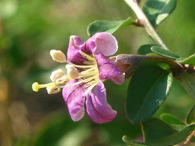 枸杞(くこ)の花