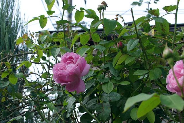 薔薇(ばら)(70795 byte)