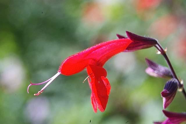 紅花サルビア(26723 byte)