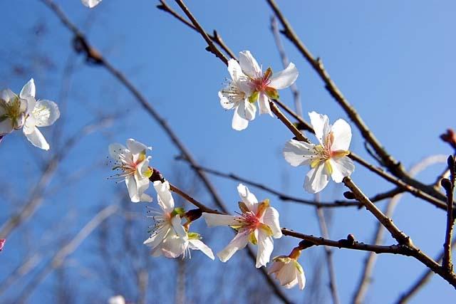 冬桜(ふゆざくら)(42442 byte)