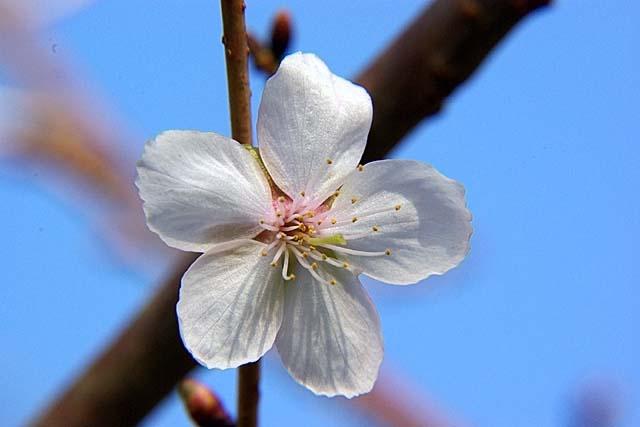 冬桜(ふゆざくら)(29781 byte)
