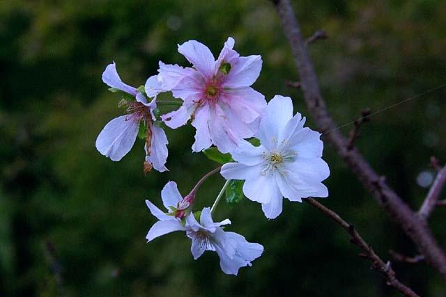 十月桜(じゅうがつざくら)(37218 byte)