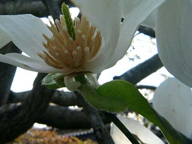 コブシの花の根っこの若葉、この若葉を持つ花がコブシの花(39583 byte)