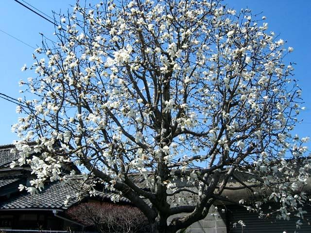 辛夷(こぶし)木の全体像(118707 byte)