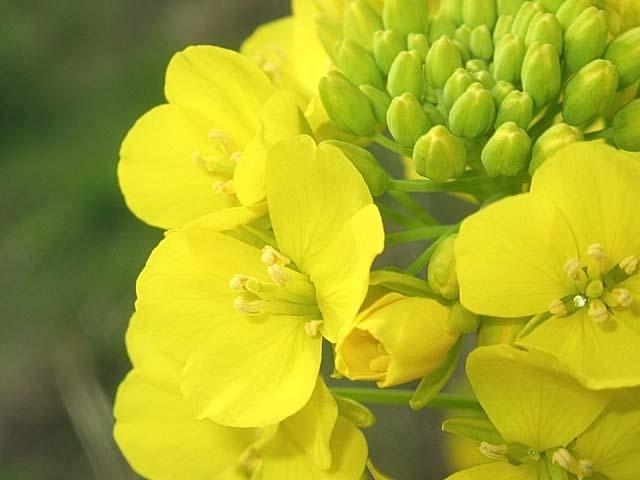 菜の花(なのはな)(34296 byte)