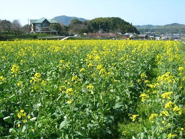 菜の花(102356 byte)