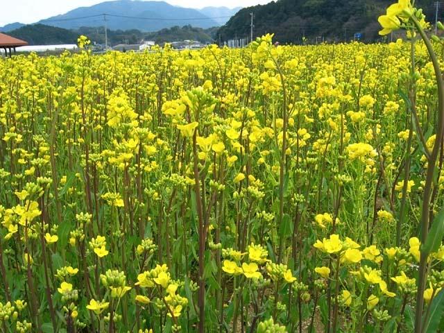 菜の花(100938 byte)