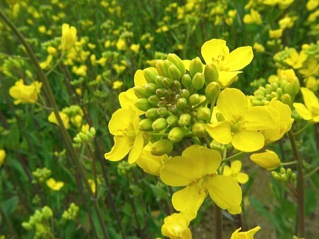 菜の花(53216 byte)