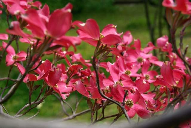 紅花花水木(べにばなはなみずき)(48677 byte)