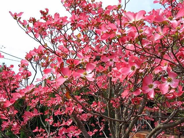 紅花花水木(べにばなはなみずき)(131318 byte)