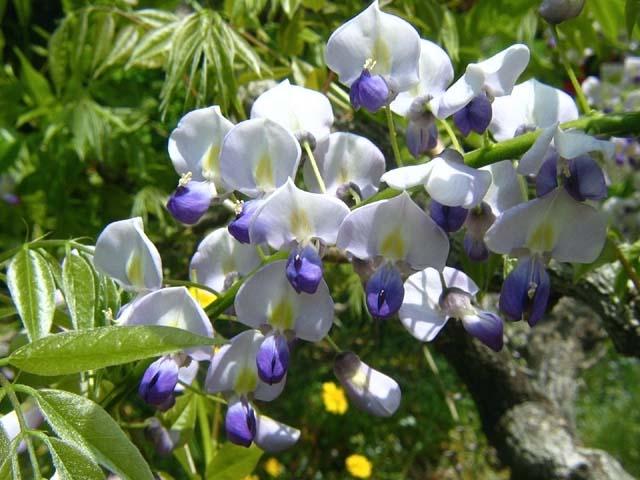 藤の花(60120 byte)