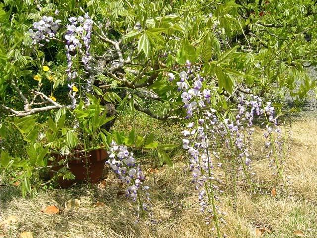 藤の花(123267 byte)