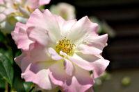 薔薇(ばら)(6953 byte)