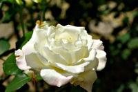 薔薇(ばら)(7694 byte)