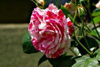 薔薇(ばら)(9139 byte)