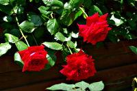 薔薇(ばら)(10126 byte)