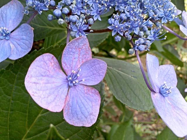 萼紫陽花(63919 byte)