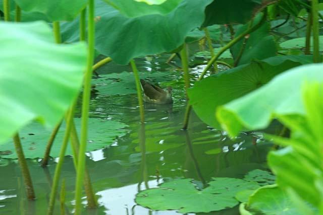 蓮(はす)池の水鳥(38696 byte)