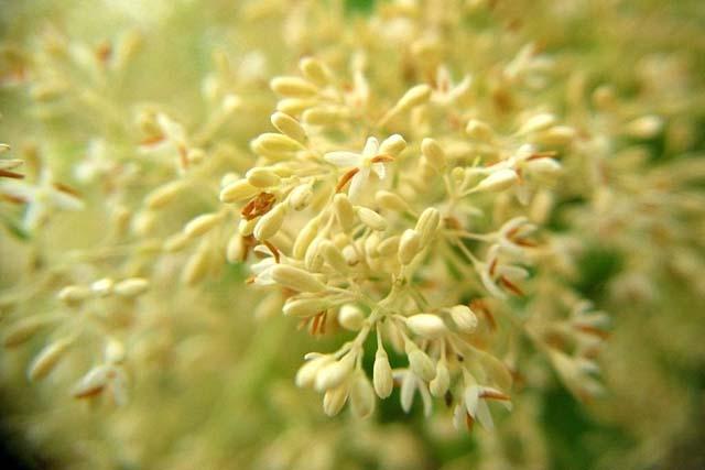 島トネリコの花(34303 byte)