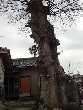 樹齢300年の欅