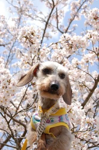 りっくんと桜